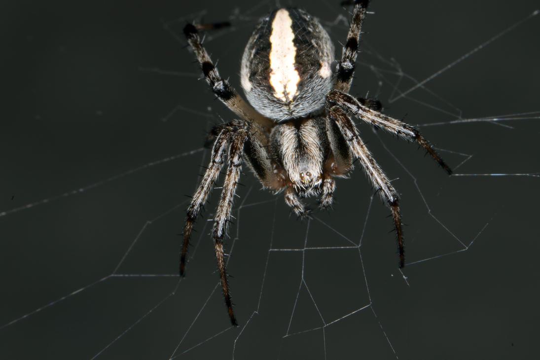 Friendly Neighborhood Spider by osx-mkx
