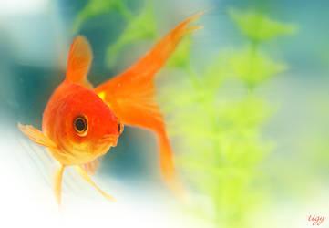 The orange fish by tigerelune