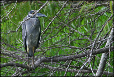 Yellow-crowned Night-heron by DocturPeppur