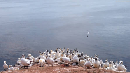 a bunch of gannets