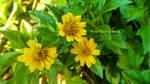 Flowers 001(2015) - Yellow flowering grass