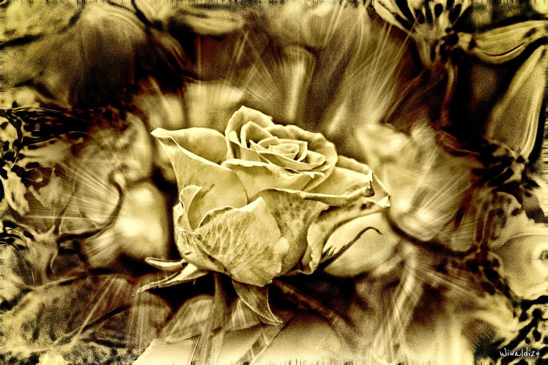 The rose by wiwaldi24