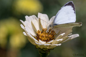 Pieris brassicae by wiwaldi24
