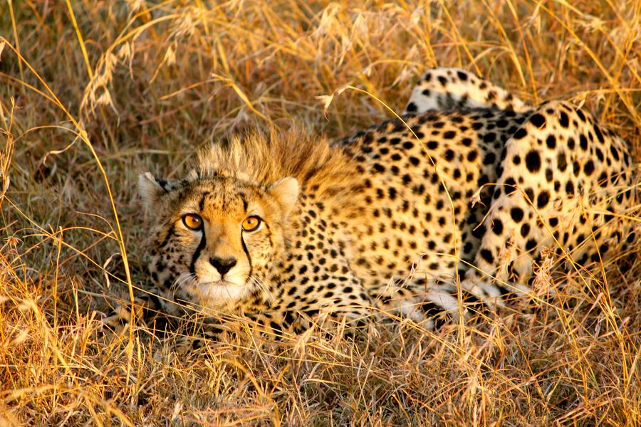Cheetah by porpierita
