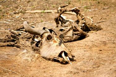 Wildebeest Carcass