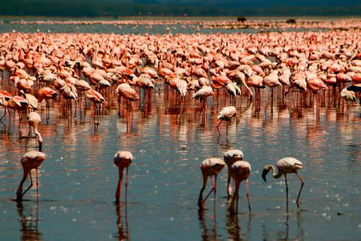 Flock of Flamingoes II