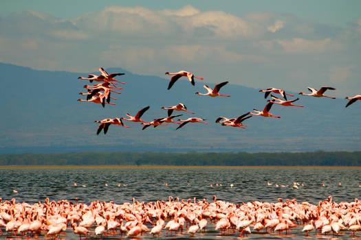 Flying Flamingoes II