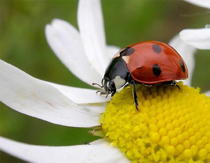 ladybird III by zwierzak