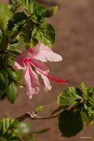 shakespearean hibiscus by Dancing-Treefrog