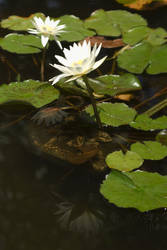 White Water Lillies Reflected by Dancing-Treefrog