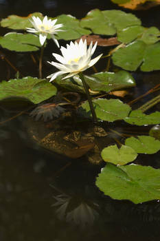 White Water Lillies Reflected