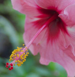 in the land of purple hibiscus by Dancing-Treefrog
