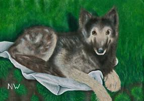Memorial painting of Shadow the Belgian Shepherd