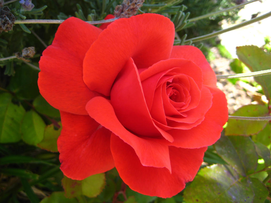Bright Red Rose By Tora And Sora On DeviantArt