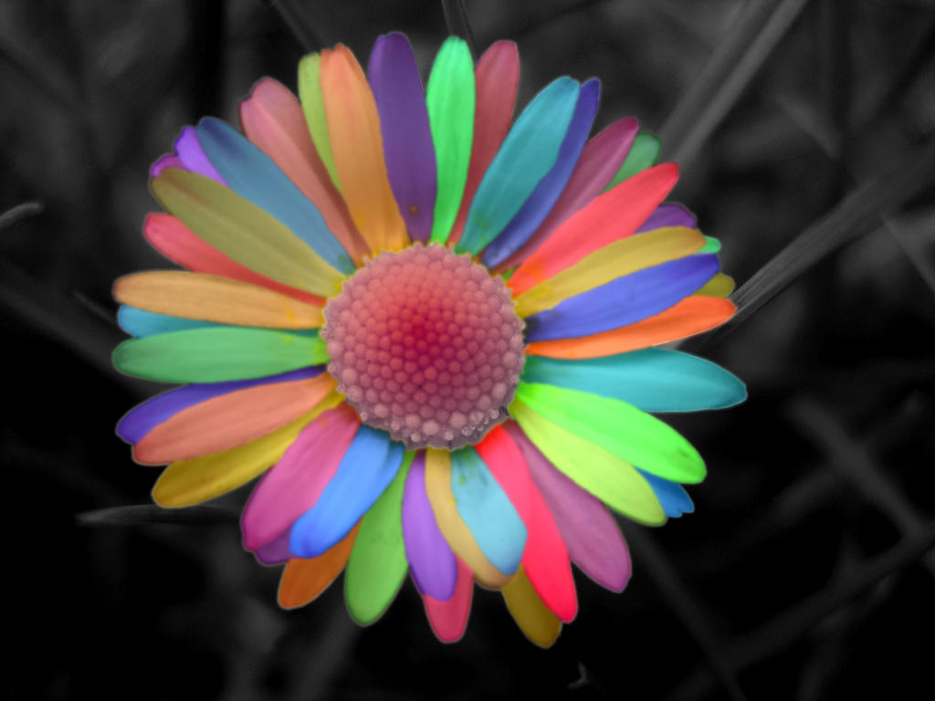 Rainbow Daisy Flower