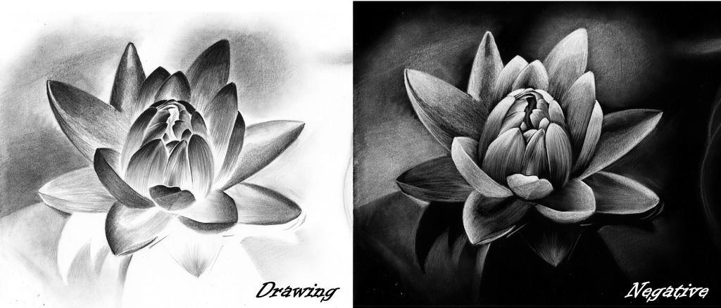 Lotus flower by Midaqle