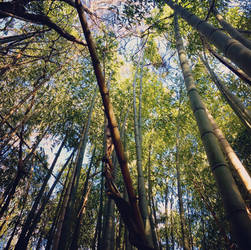 One of East Tennessee's Moso bamboo forests
