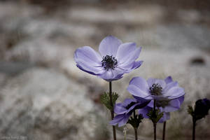 purple anemones by jfong
