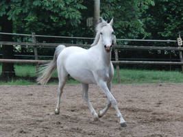 Horse stock Algeria 10 by Yumani-Chan