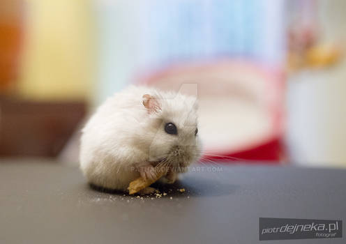 Hungry little hamster