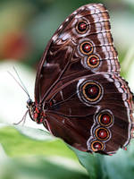 Blue Morpho Butterfly by mohaganbev