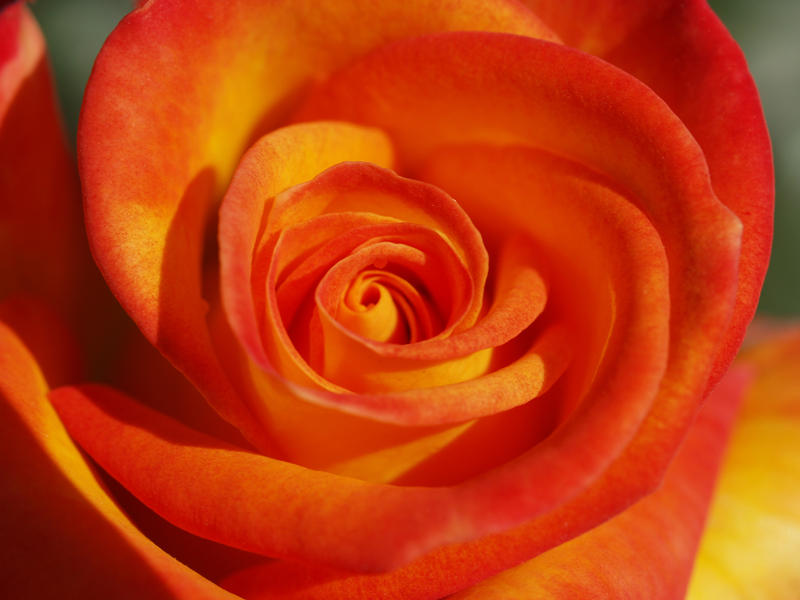 Orange and Yellow Rose by mohaganbev