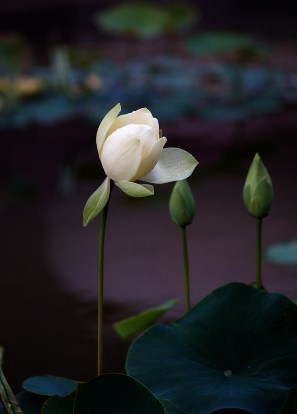 white water lily flower by mohaganbev