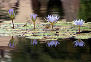 Blue lily pad flowers by mohaganbev