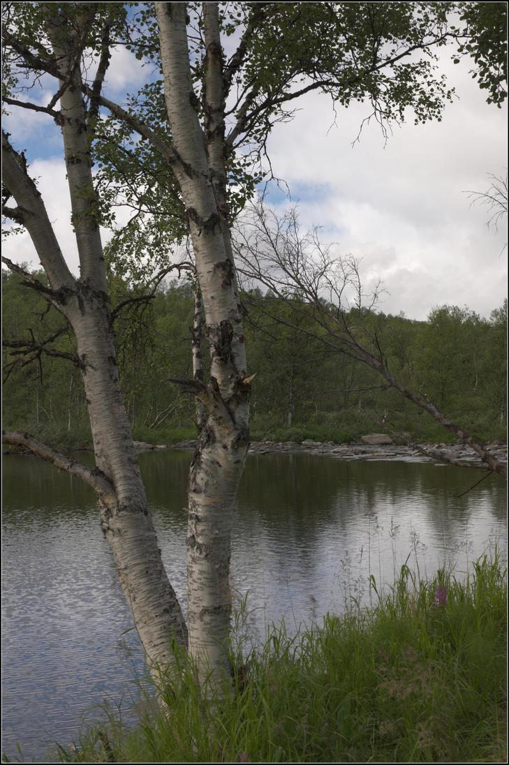 Arctic birch by NikolaiMalykh