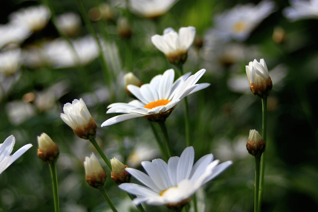 mum's marguerites by teetotally