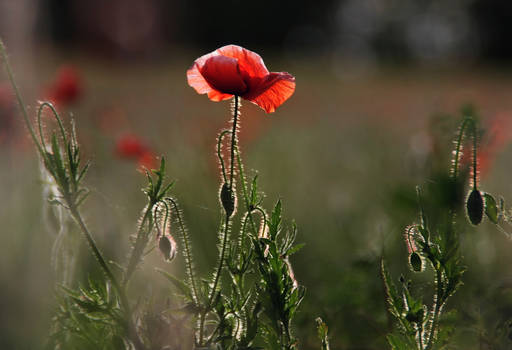 the poppy is also a flower