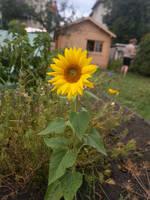 Sonnenblume by DrAzraelTod