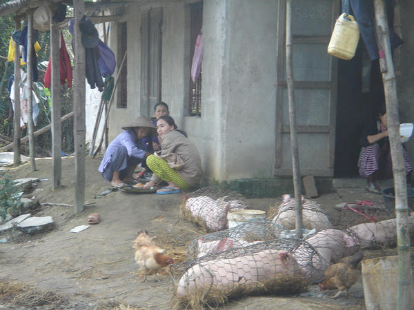 girl slaughter pig Sexy big