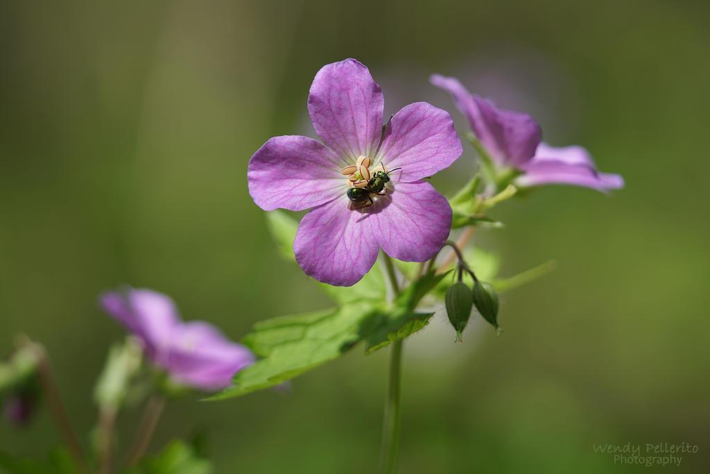 The Wild Geranium Visitor by wendy-pellerito