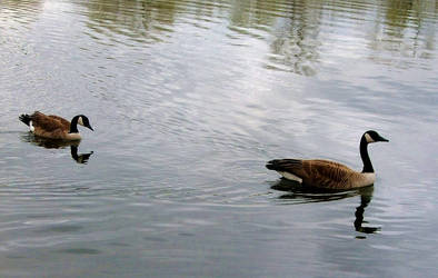 Canadian Geese by jenniferhl72