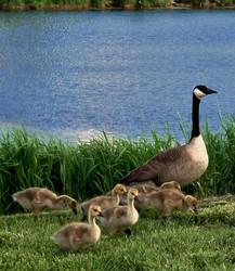 Geese Family by jenniferhl72