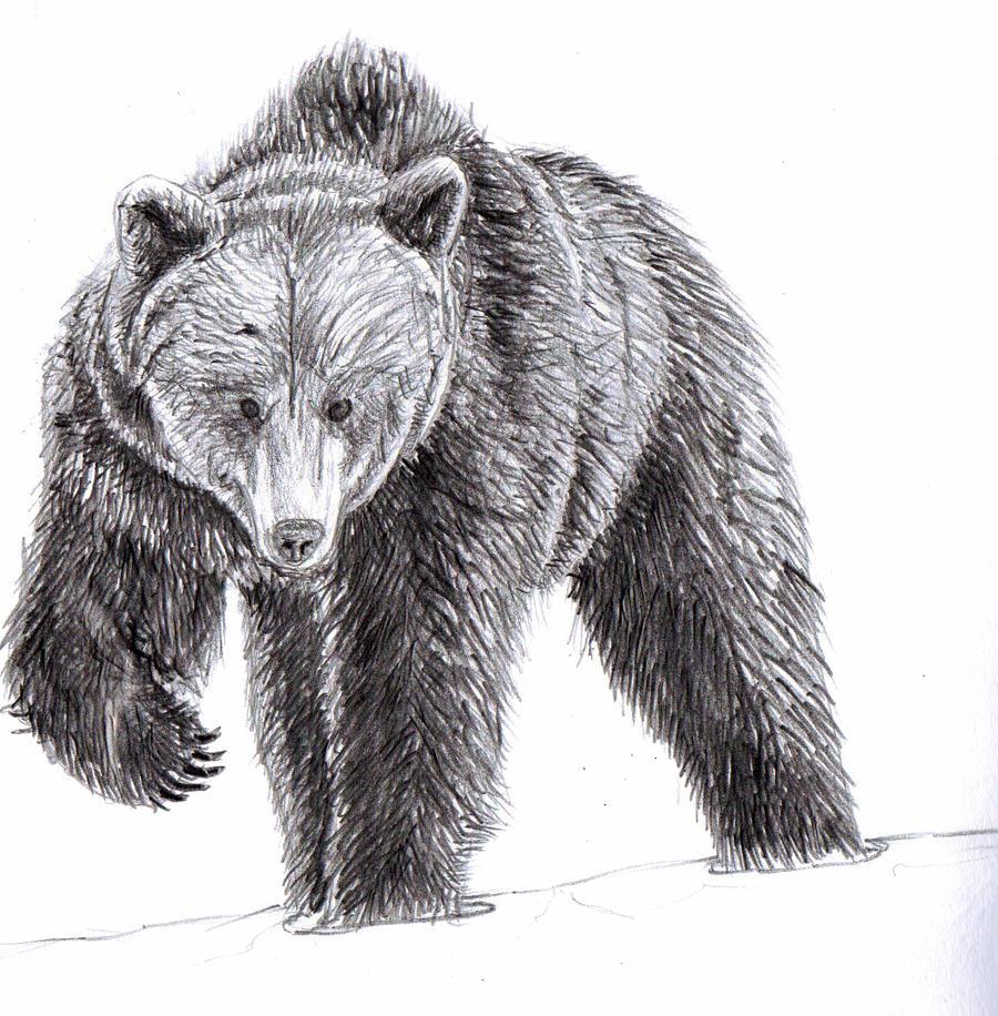 Black bear sketches - photo#1
