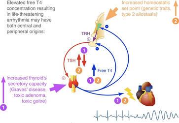 Thyroid hormones and heart rhythm