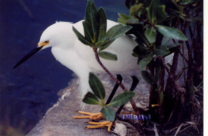 Snowy Egret Fishing by Tonar