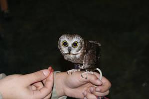 Wee Little Owl by Krisderp