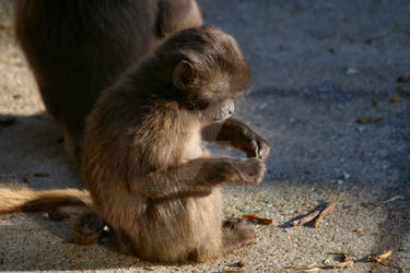 Baby Gelada Baboon