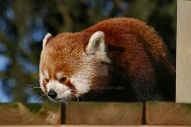 Red Panda Sulking