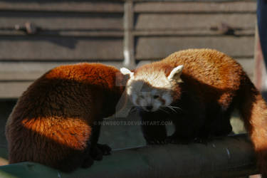 Red Panda Standoff