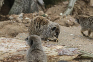 Meerkat again
