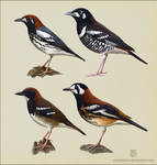 Geokichla thrushes