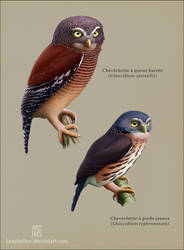 Congo pygmy owls by Leaubellon