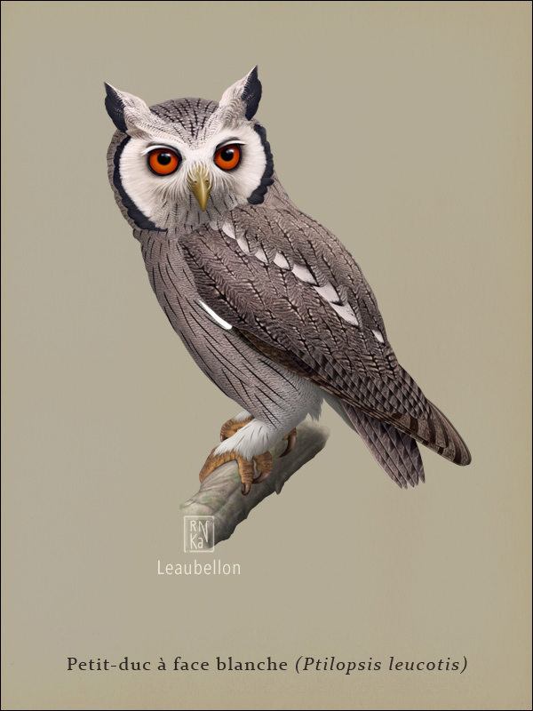 Northern White-faced Owl by Leaubellon