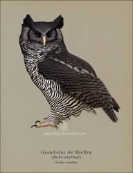 Shelley's Eagle-owl