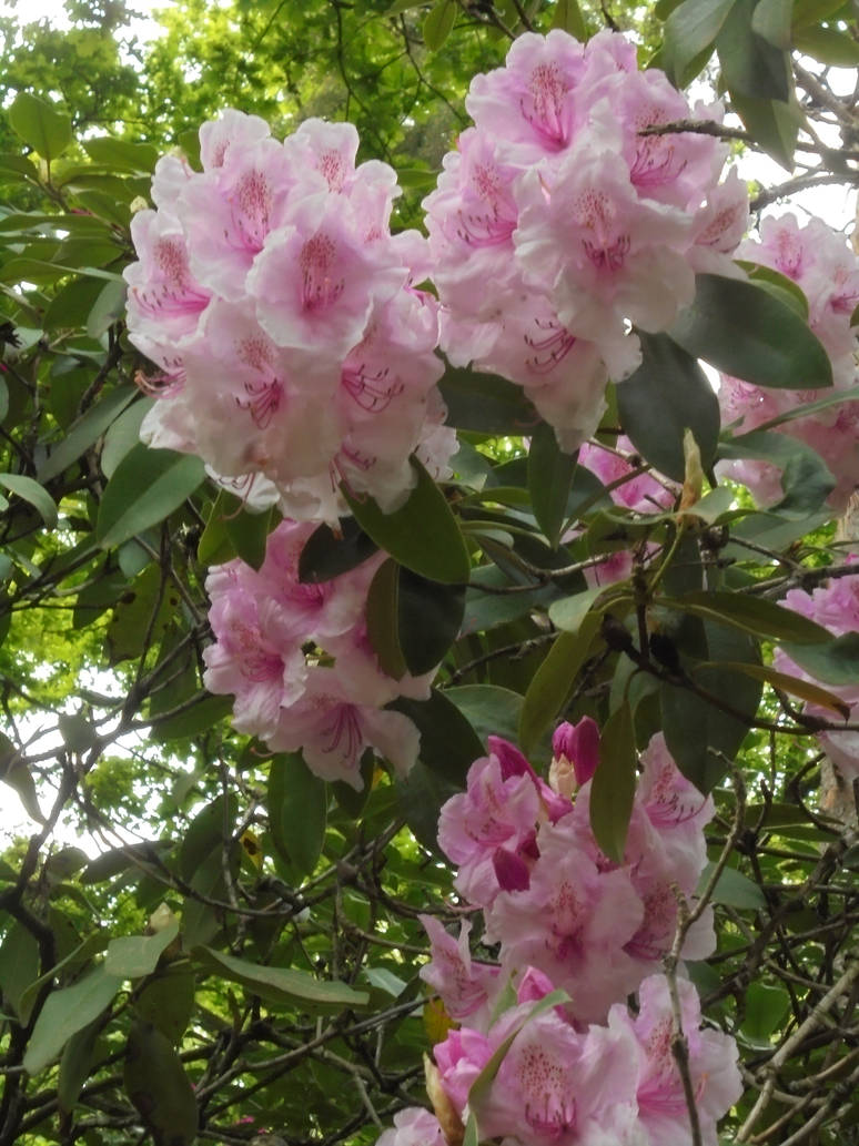 Botanical Garden - Rhododendron III by M-Ornichthys