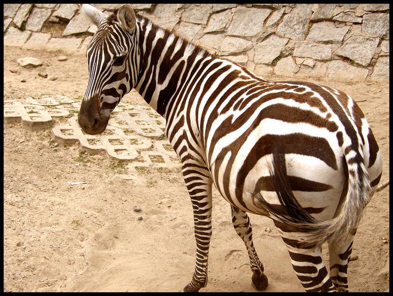 zebra by trampek89